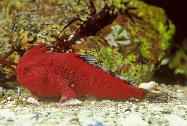nuova-specie-tasmania-animale-pesce-zampe-foto-02