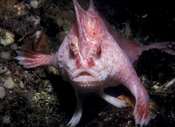 nuova-specie-tasmania-animale-pesce-zampe-foto-04