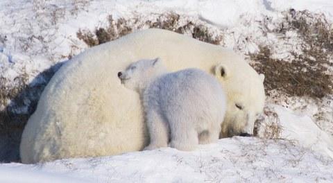 orsi-polari-foto-alaska-01