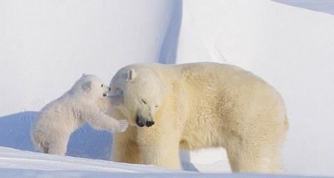 orsi-polari-foto-alaska-02