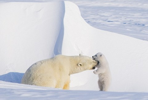 orsi-polari-foto-alaska-03