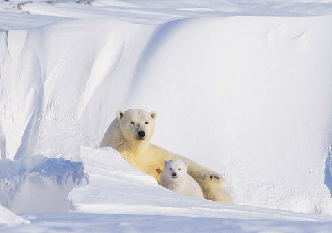 orsi-polari-foto-alaska-04