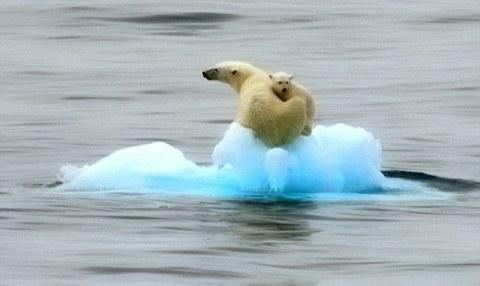 orsi-polari-intrappolati-su-iceberg-02
