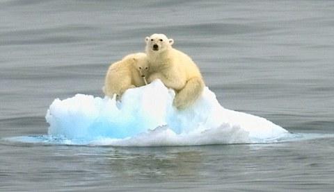 orsi-polari-intrappolati-su-iceberg-03