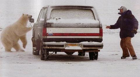 orso-polare-barrow-alaska-parcheggio-inseguimento-01