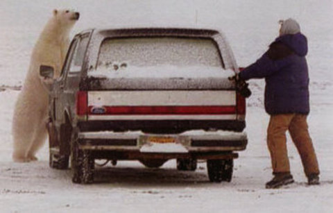 orso-polare-barrow-alaska-parcheggio-inseguimento-02