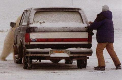 orso-polare-barrow-alaska-parcheggio-inseguimento-03