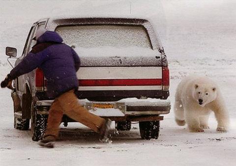 orso-polare-barrow-alaska-parcheggio-inseguimento-04