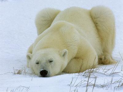 orso-polare-nature-rischio-estinzione-foto-02
