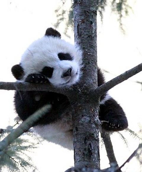 panda-esperimento-cina-scienziati-travestimento-foto-01