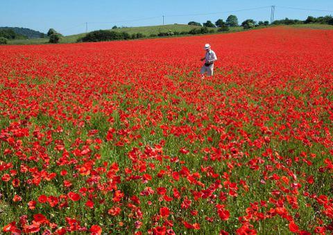 papaveri-campi-fioriti-Worcestershire-foto-01