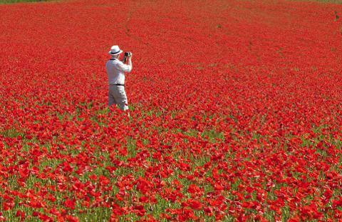 papaveri-campi-fioriti-Worcestershire-foto-02