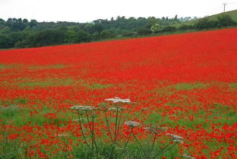 papaveri-campi-fioriti-Worcestershire-foto-03