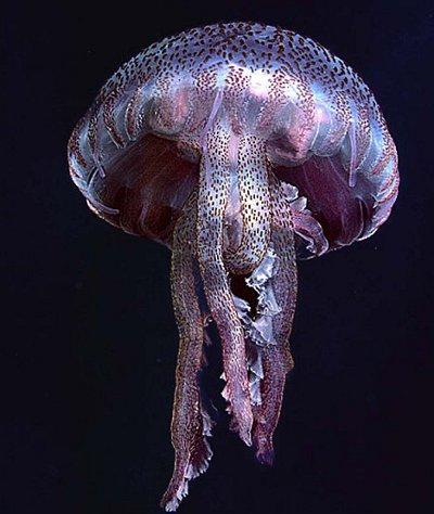 pelagia-noctiluca-medusa-gran-bretagna