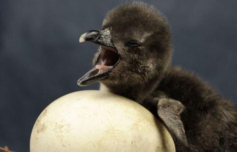pinguino-foto-nascita-uovo-03