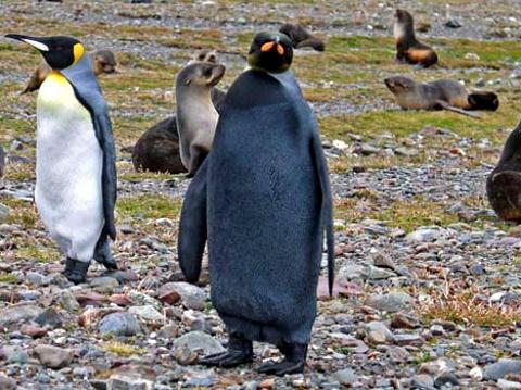 pinguino_nero