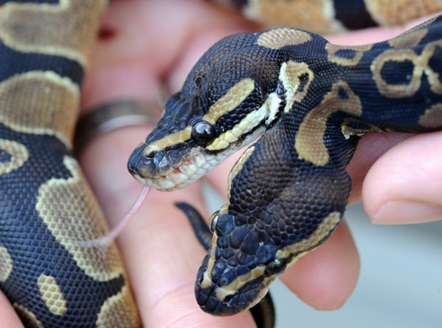 pitone-serpente-due-teste-foto-04