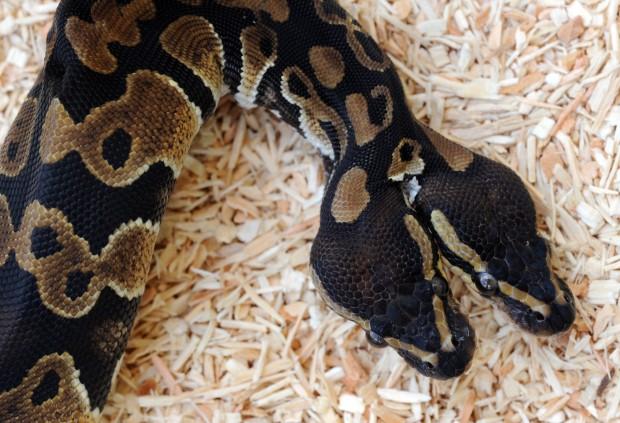 pitone-serpente-due-teste-foto-05
