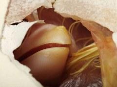 pulcino-foto-nascita-uovo-01