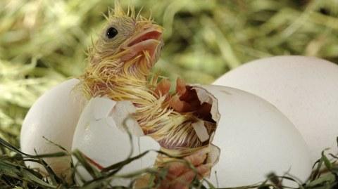 pulcino-foto-nascita-uovo-03