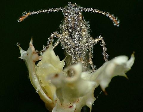 rugiada-foto-immagini-pic-insetti-Swietek-01