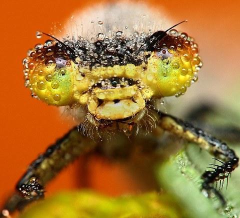 rugiada-foto-immagini-pic-insetti-Swietek-03