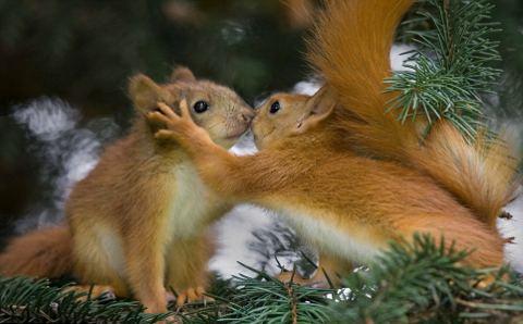 scoiattoli-bacio-foto