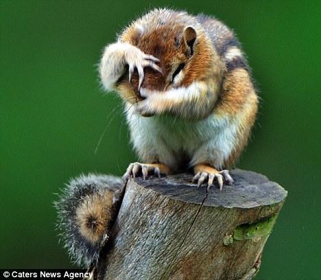 scoiattolo-timido-Mark-Hardymon-foto-01
