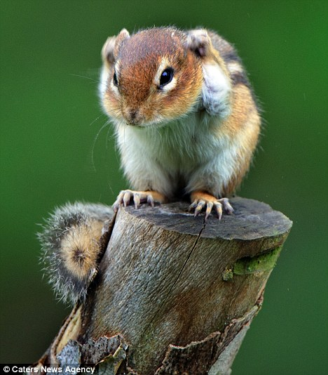 scoiattolo-timido-Mark-Hardymon-foto-02