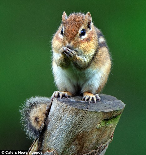 scoiattolo-timido-Mark-Hardymon-foto-03