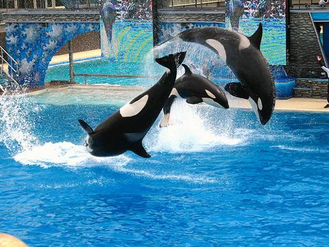 spettacolo-orche-ammaestrate