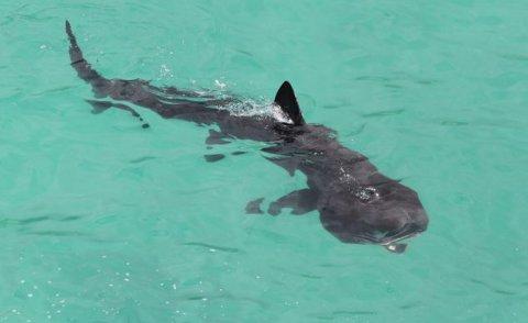 squalo-elefante-riva-foto-02