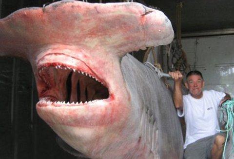 squalo-martello-record-foto