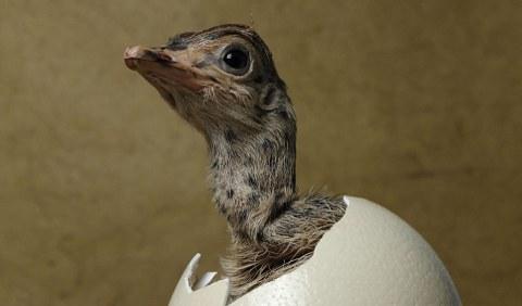 struzzo-foto-nascita-uovo-03