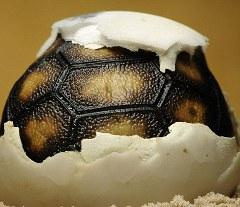 tartaruga-foto-nascita-uovo-01