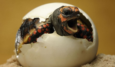 tartaruga-foto-nascita-uovo-03