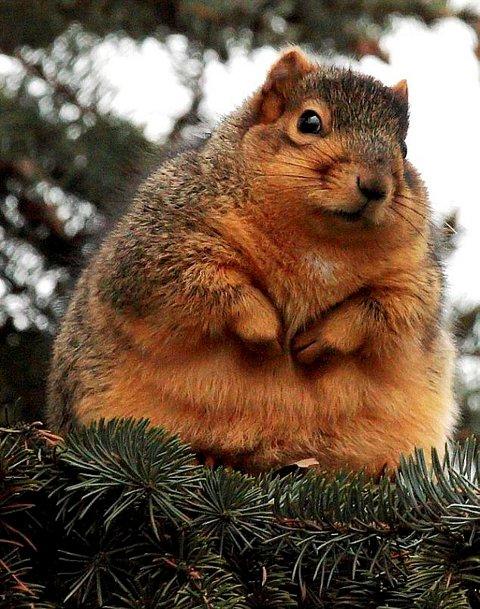 tubby-scoiattolo-obeso-natale-01