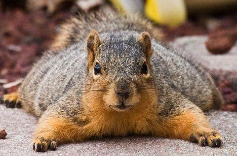 tubby-scoiattolo-obeso-natale-02