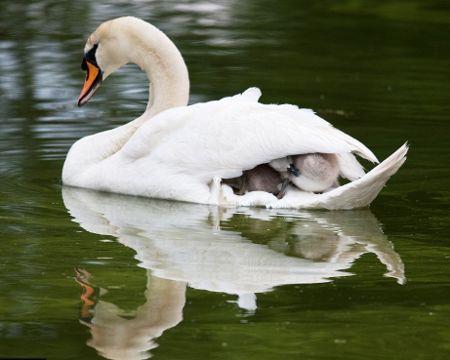 Mamma-cigno-figli