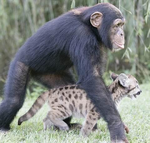 Mamma-scimpanze--gioco-puma