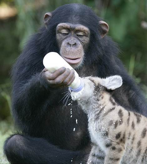Mamma-scimpanze-allatta-puma