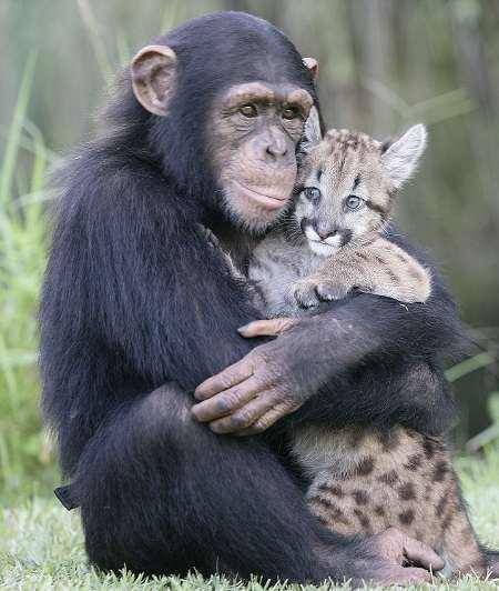 Mamma-scimpanze-coccole-puma