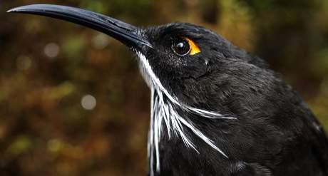 Melidectes-Princepsnuova-specie-