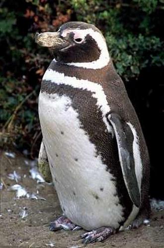 Pinguino-di-Magellano-pulcino