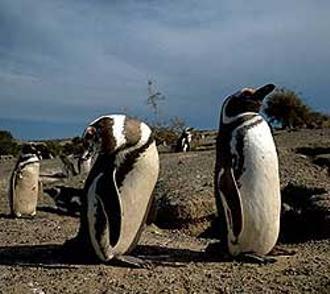 Pinguino-di-Magellano