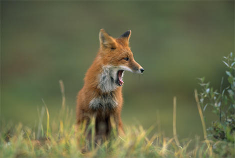alaska-volpe-rossa-sbadiglio