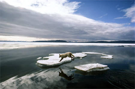 arctic-wolf-canada-lupo-artico