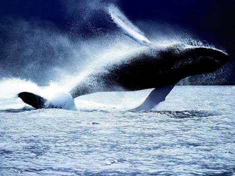 balena-blu-oceano-pacifico
