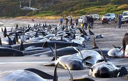 balena-in-tasmania-arenate-spiaggiamento-di-massa