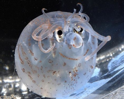 calamaro-sorriso-maialino